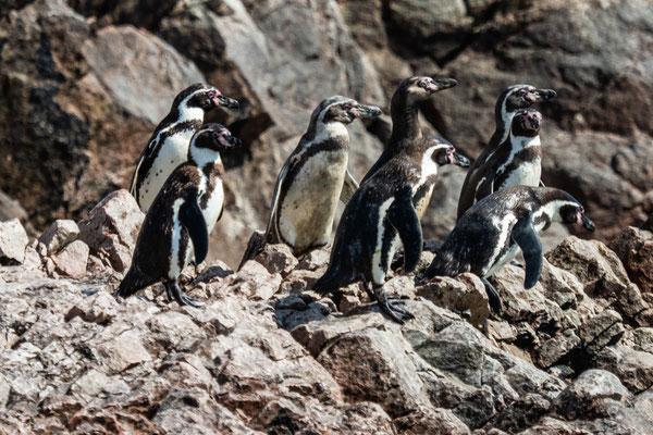 5. Nov.   Islas Ballestas: Humboldt-Pinguine