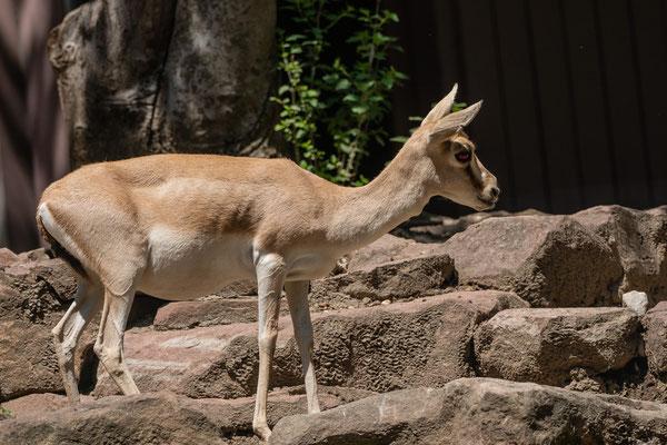 Persische Kropfgazelle, Zoo Karlsruhe Juli 2019