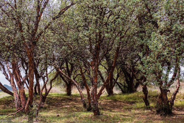 13. Nov.   Sascayhuaman: Quenuabäume