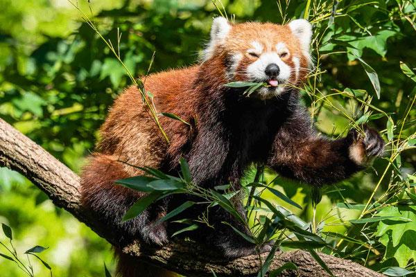 Roter Panda, Zoo Karlsruhe, Mai 2020