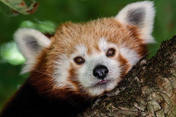 Kleiner Panda, Zoo Karlsruhe Juli 2019