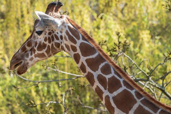 Netz-Giraffe, Zoo Karlsruhe, Apr. 2018