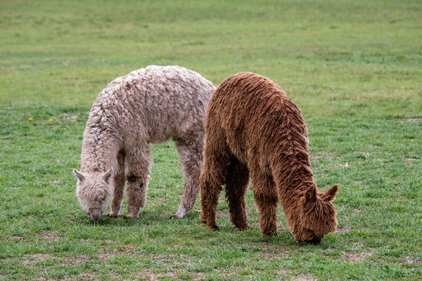 13. Nov.   Sascayhuaman: Alpakas
