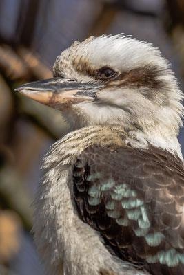 Kookaburra, Zoo Karlsruhe, Apr. 2018
