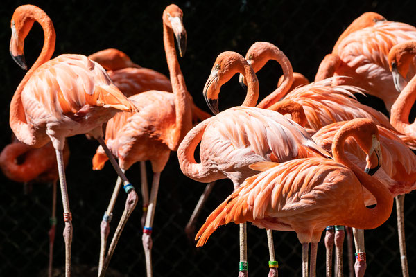 Chile-Flamingos, Zoo Karlsruhe, Sep. 2018