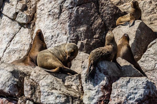 5. Nov.   Islas Ballestas: Seelöwen