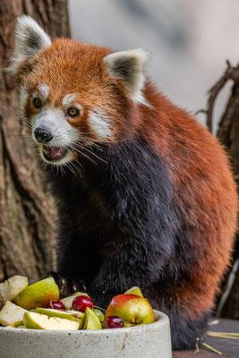 Kleiner Panda, Zoo Karlsruhe, Juni 2018
