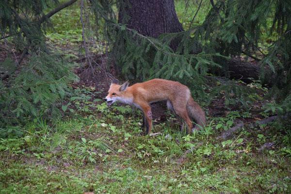 Fuchs gesehen im Peterhofer Park