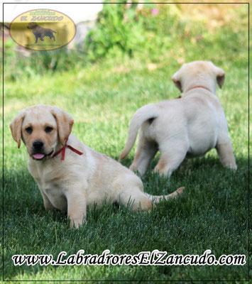 Cachorros con 60 días