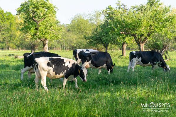 Lekker Hollands landschap, Koeien