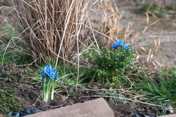Iris reticulate gehört zu den ersten Frühlingsblühern