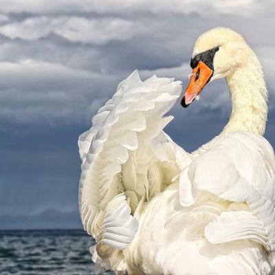 Ostseeschwan