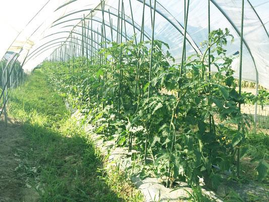 トマトケチャップやスープが好評なので、トマトは去年より多く植付ました。