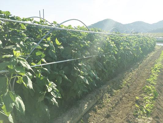 12月ごろに収穫予定の「菊芋」です。