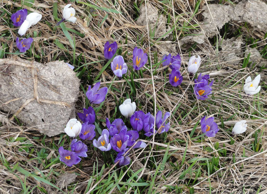 Alpen-Frühlings-Krokus