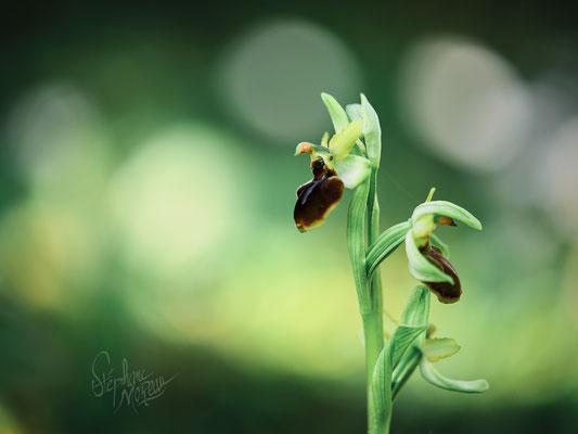 Stephane Moreau - Orchidée Anjou