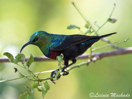 marico sunbird (Cinnyris mariquensis)