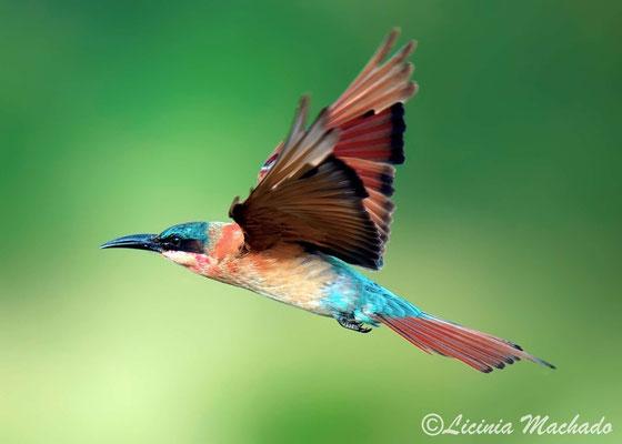 carmine bee-eater (Merops nubicoides) #3