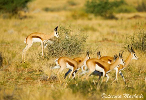 Springbok #2