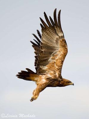 tawny eagle (Aquila rapax) #2