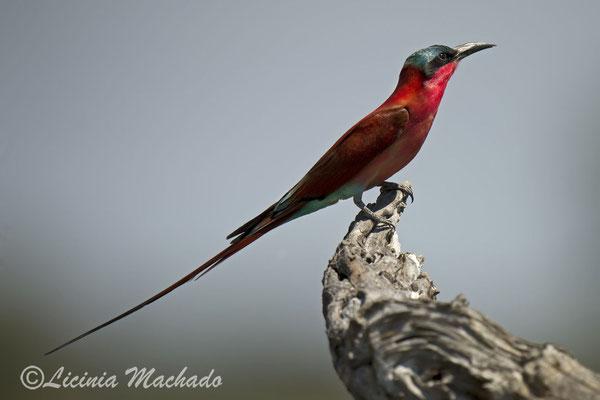 carmine bee-eater (Merops nubicoides) #1