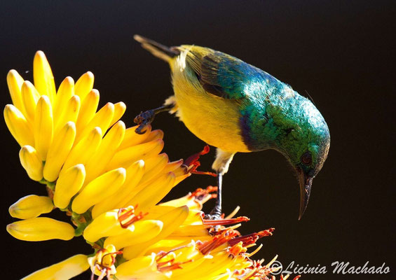 collared sunbird (Hedydipna collaris) #1