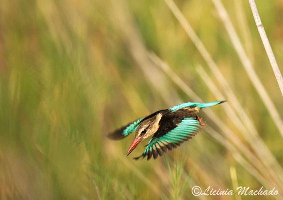 brown-hooded kingfisher (Halcyon albiventris) #1