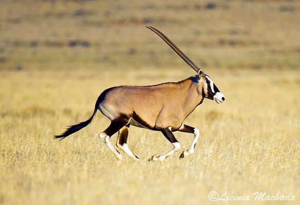 Oryx #3