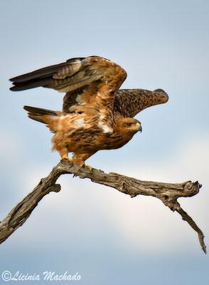 tawny eagle (Aquila rapax) #1