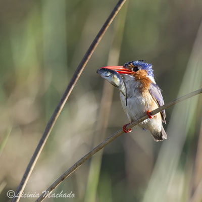 malachite kingfisher (Corythornis cristatus) #1