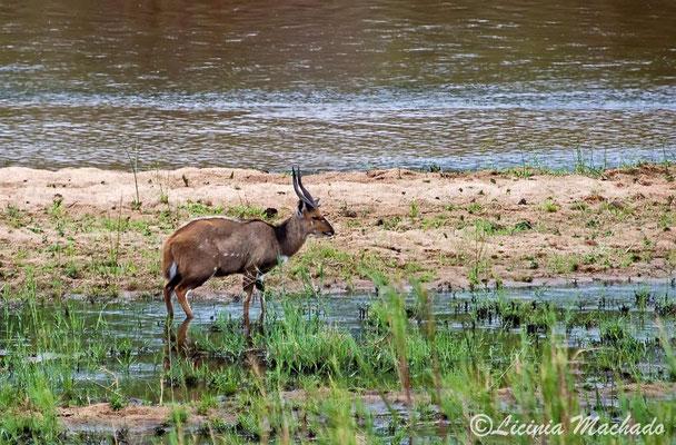 Bushbuck #2