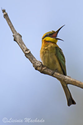 little bee-eater (Merops pusillus) #3