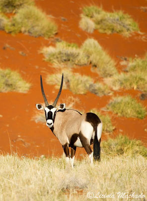 Oryx #2