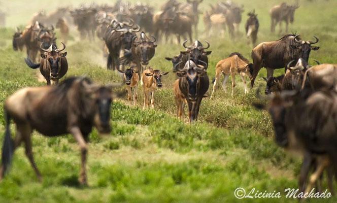 Blue wildebeest #3
