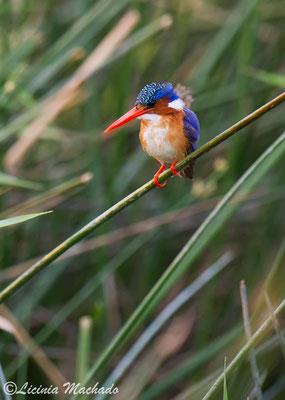 malachite Kingfisher (Alcedo cristata) #2