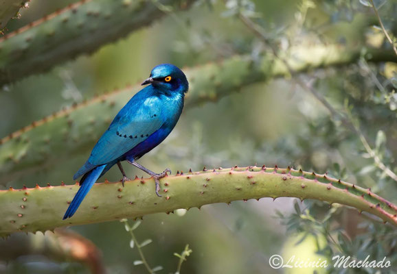 greater blue-eared glossy-starling ( Lamprotornis chalybaeus)