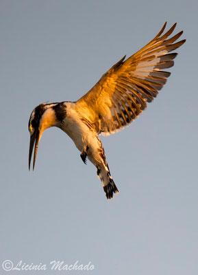 pied kingfisher (Ceryle rudis) #1