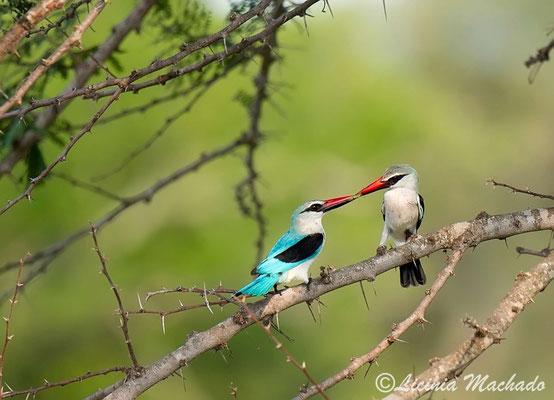 woodland kingfisher (Halcyon senegalensis) #1