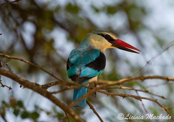 woodland kingfisher (Halcyon senegalensis) #2