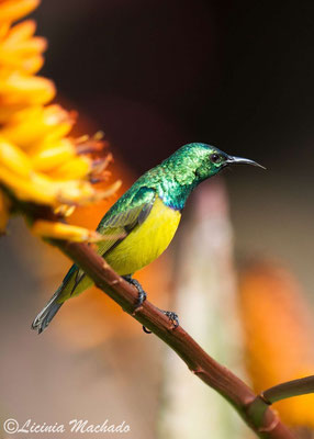 collared sunbird (Hedydipna collaris) #2