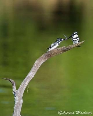 pied kingfisher (Ceryle rudis) #2