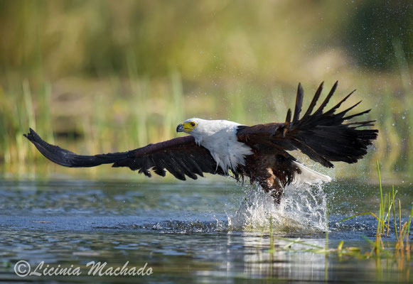 african fish eagle (Haliaeetus vocifer) #1