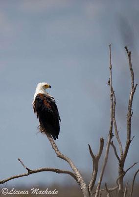 african fish eagle (Haliaeetus vocifer) #2