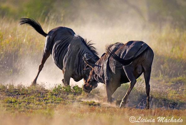 Blue wildebeest #1