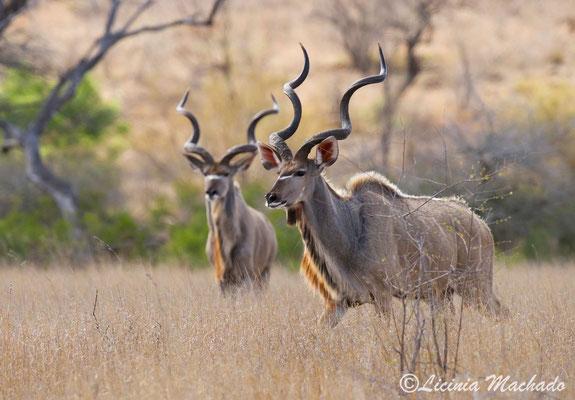 Kudu #2
