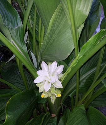 Bulbo do açafrão florido