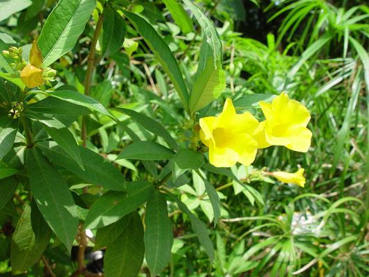 Allamanda neriifolia (Small Allamanda)、ヒメアリアケカズラ、漢名「硬枝黄蝉」