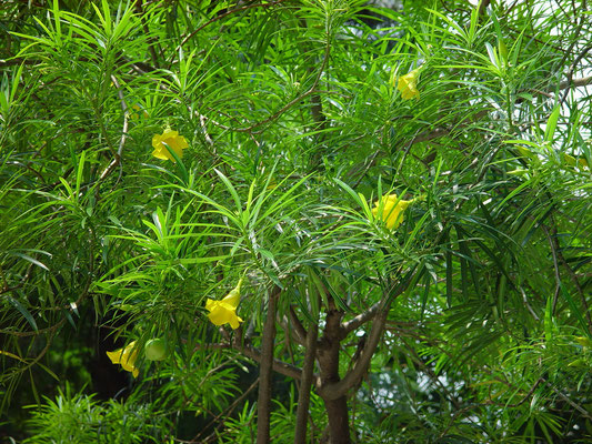 Thevetia peruviana (Yellow Oleander)、キバナキョウチクトウ、漢名「黄花夾竹桃」