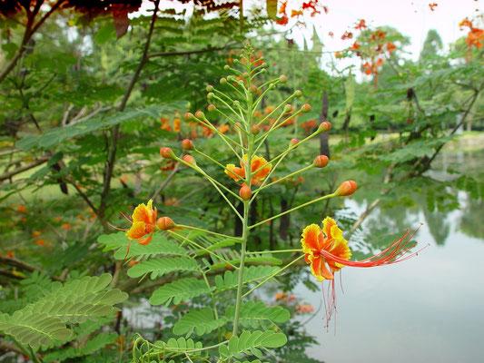 Caesalpinia pulcherrima, Peacock flower / Leguminosae, Venez.、オオゴチョウ(大胡蝶)、@Swan Lake Ring