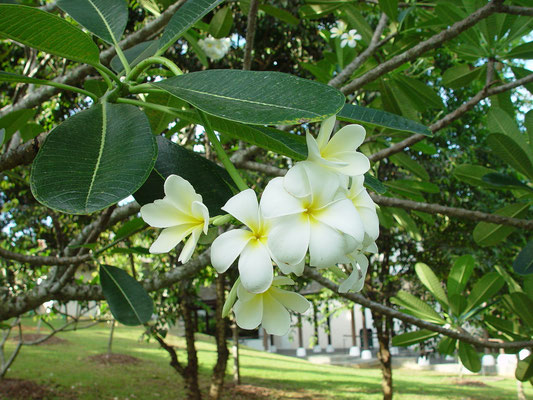 Plumeria obtusa, Frangipani / APOCYNACEAE, trop. AM, @close to the Visitor Center